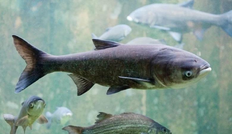 Ruốc cá diếc là loại ruốc có hương vị hấp dẫn